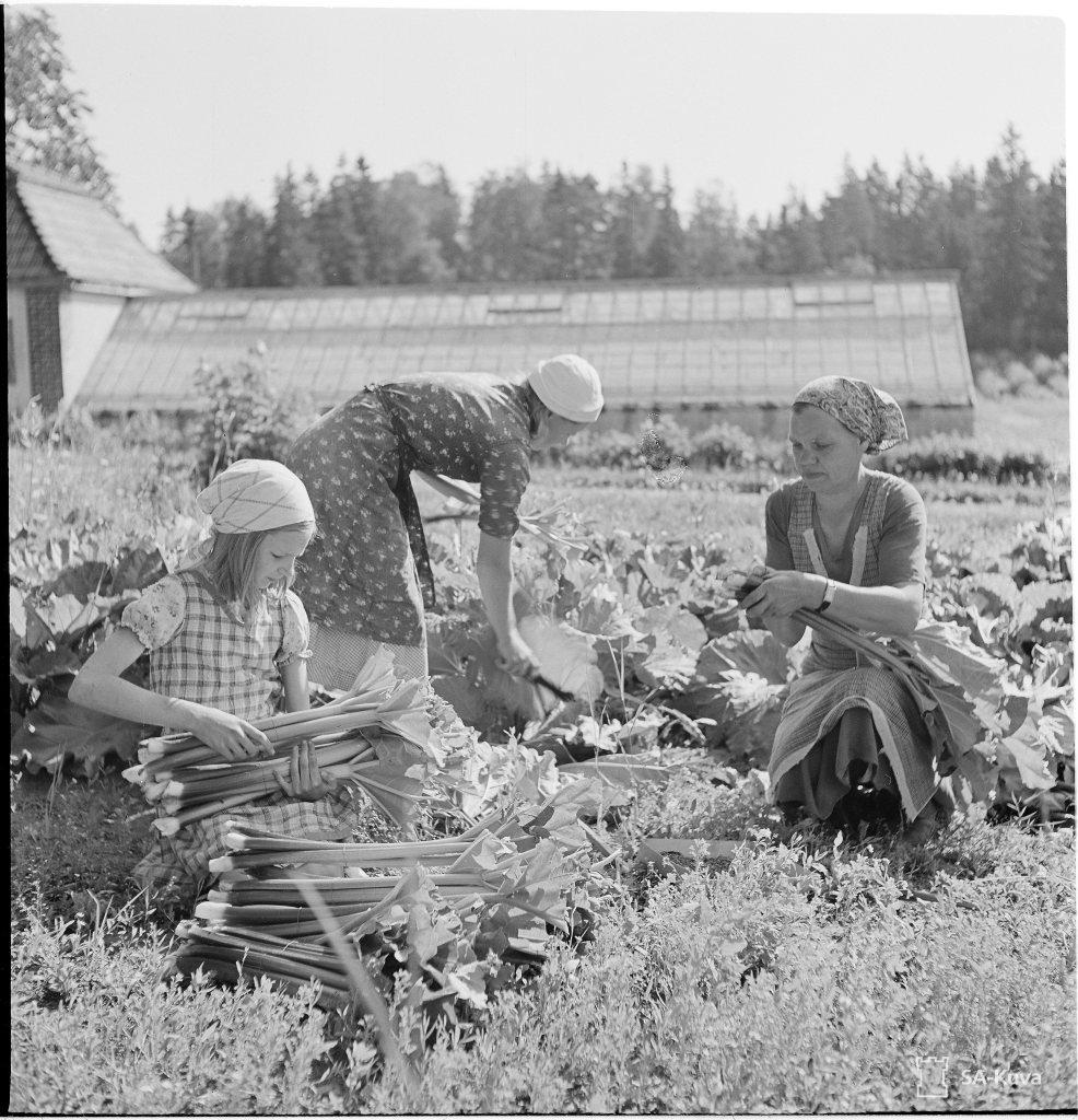 Kolme henkilöä poimimassa raparperisatoa kasvimaalta. Taustalla kasvihuone. Kuvaaja: Soldan. Sotamuseo. Lähde: finna.fi